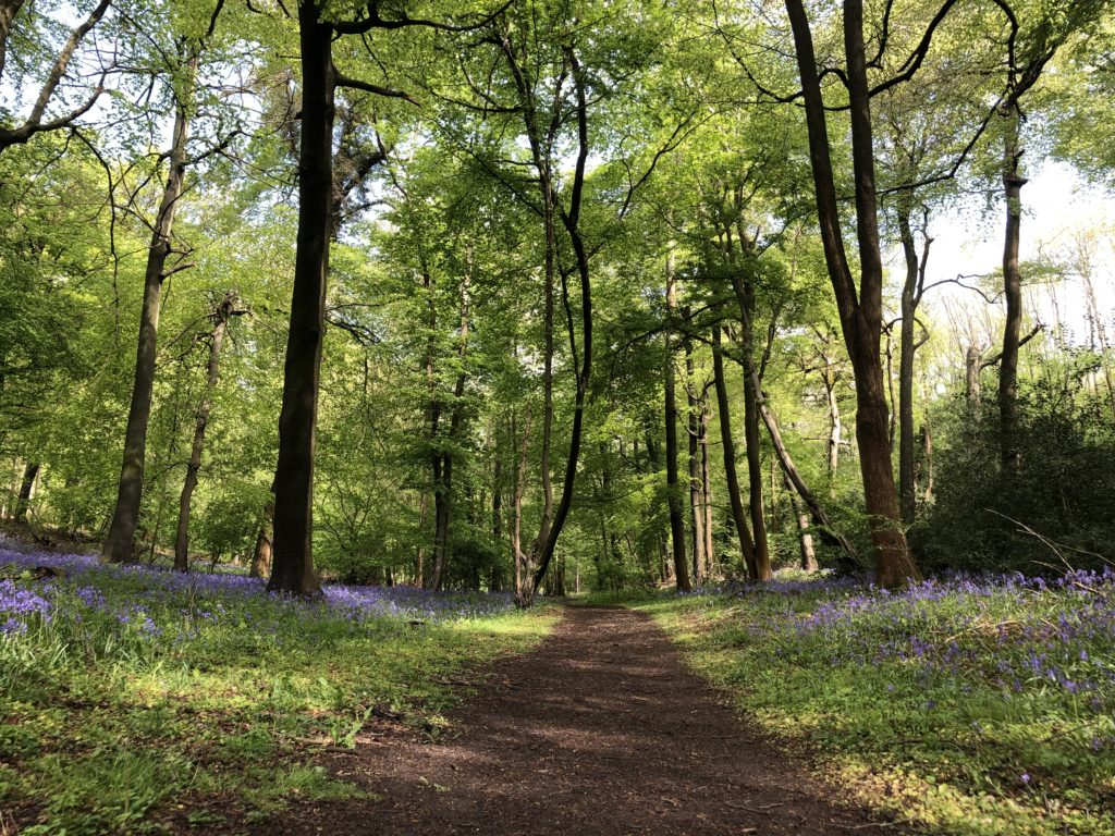 This is a photo of a path leading through the woods. To either side of the path are magnificent quantities of bluebells.